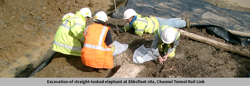 Excavation of straight-tusked elephant at Ebbsfleet site, Channel Tunnel Rail Link