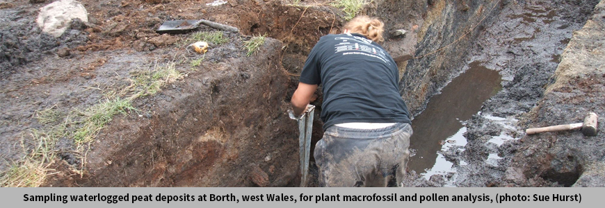 Sampling waterlogged peat deposits at Borth, west Wales, for plant macrofossil and pollen analysis, (photo: Sue Hurst)